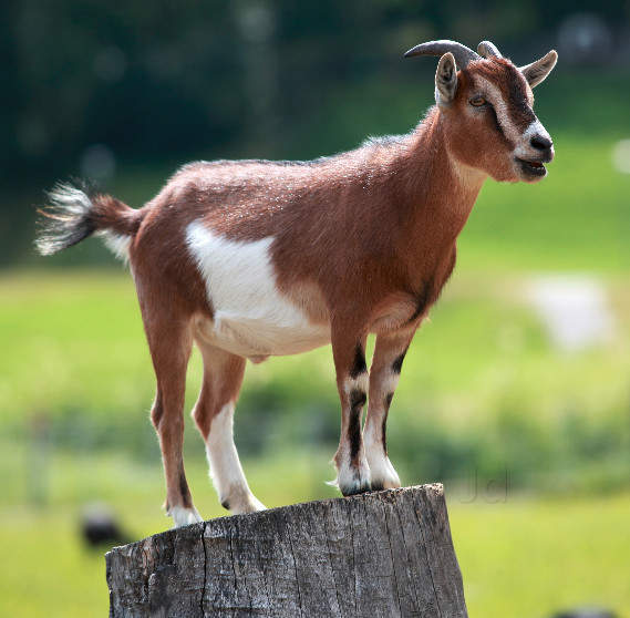 Top Goat Farming in Tibbi, Hanumangarh - Justdial