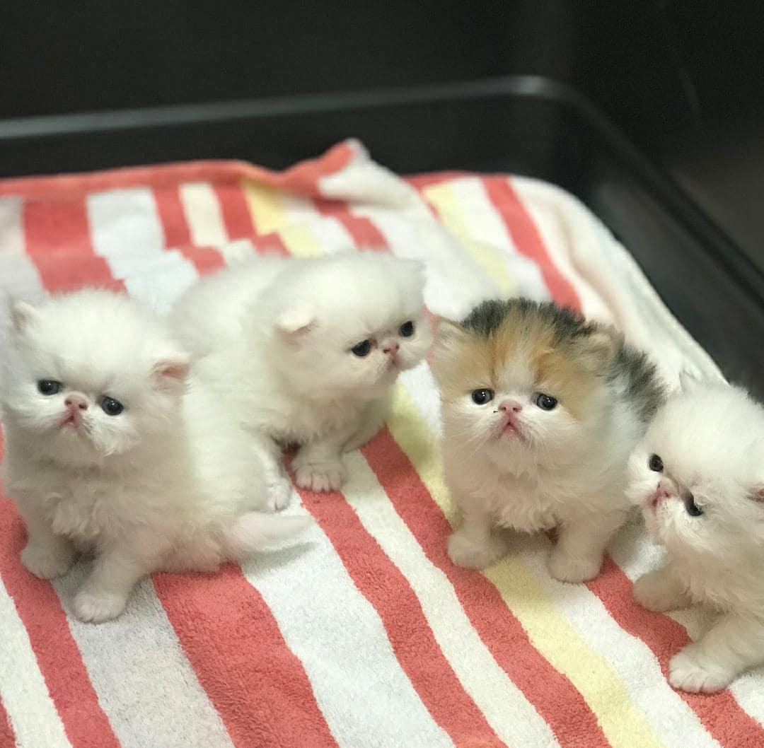 Top 100 Pet Shops For Persian Cats in Delhi - Best Persian