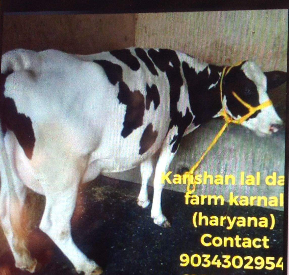 Top 10 Cow Suppliers in Hyderabad - Best Cow Dealers - Justdial
