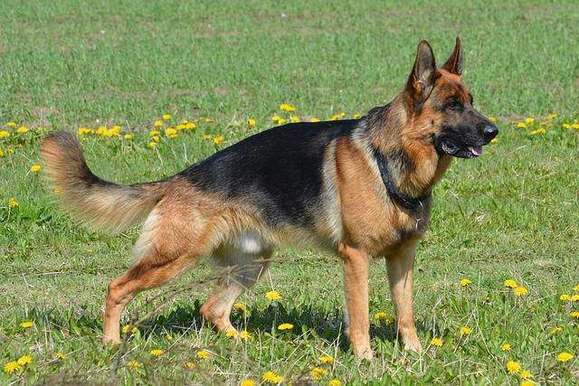 Top 30 Pet Shops For German Shepherd Dog in Varanasi - Best German