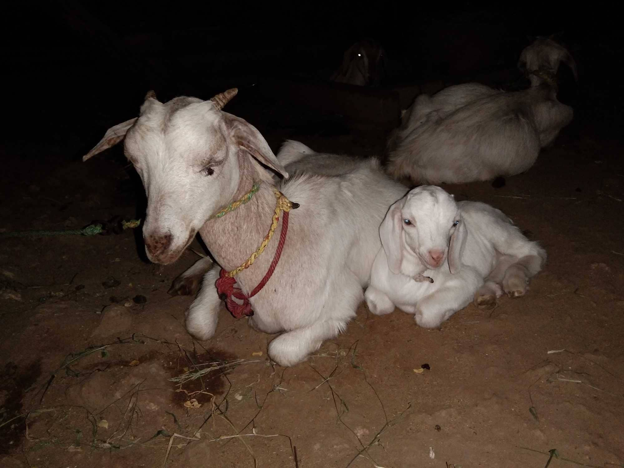 Top 10 Goat Farming in Erode - Justdial