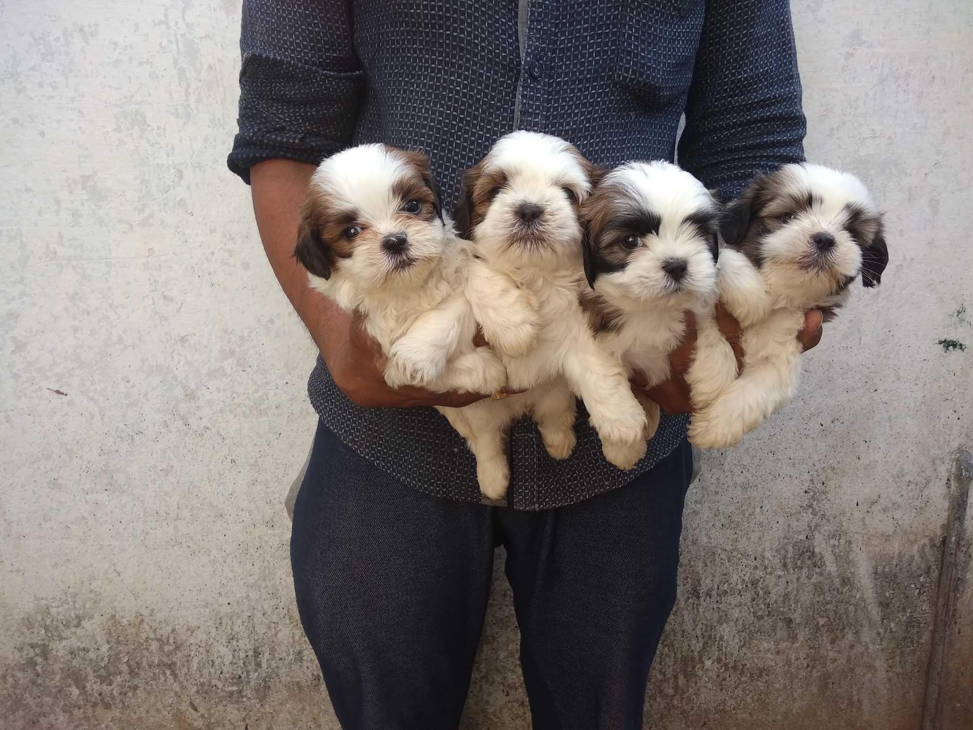 Top Pet Shops For Shih Tzu Dog in Hyderabad - Best Pet