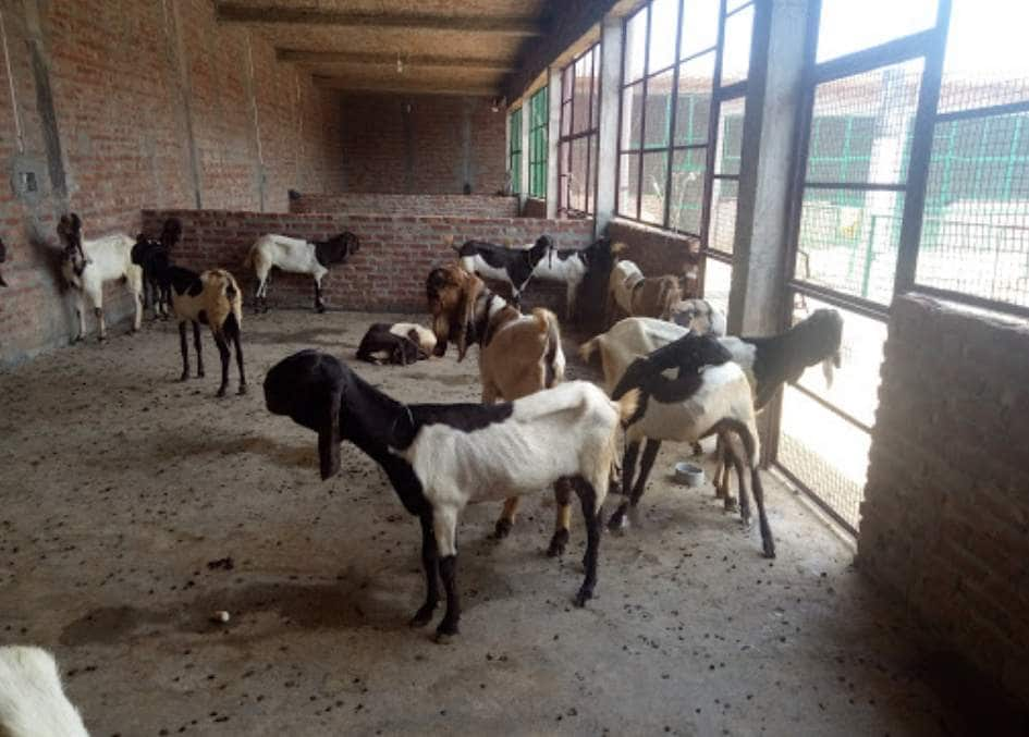 Top Goat Farming in Moradabad - Justdial