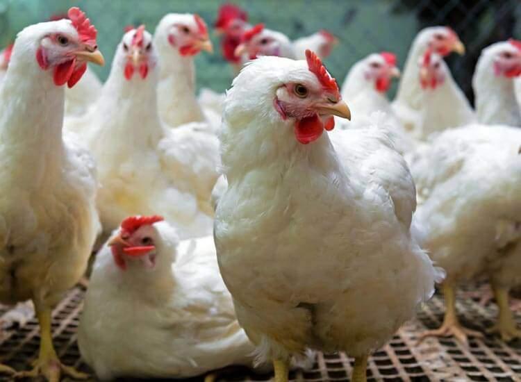 Top 100 Halal Chicken Retailers in Mumbai - Justdial