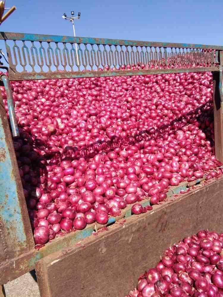 Top 100 Onion Wholesalers in Nashik - Best /b2b/agriculture Produce