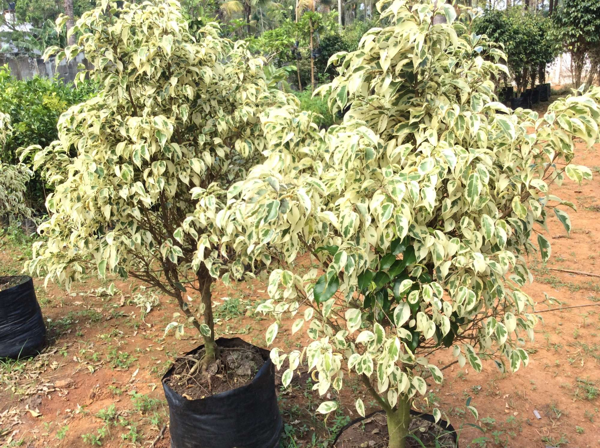 Fruit Plant Nurseries In Thrissur