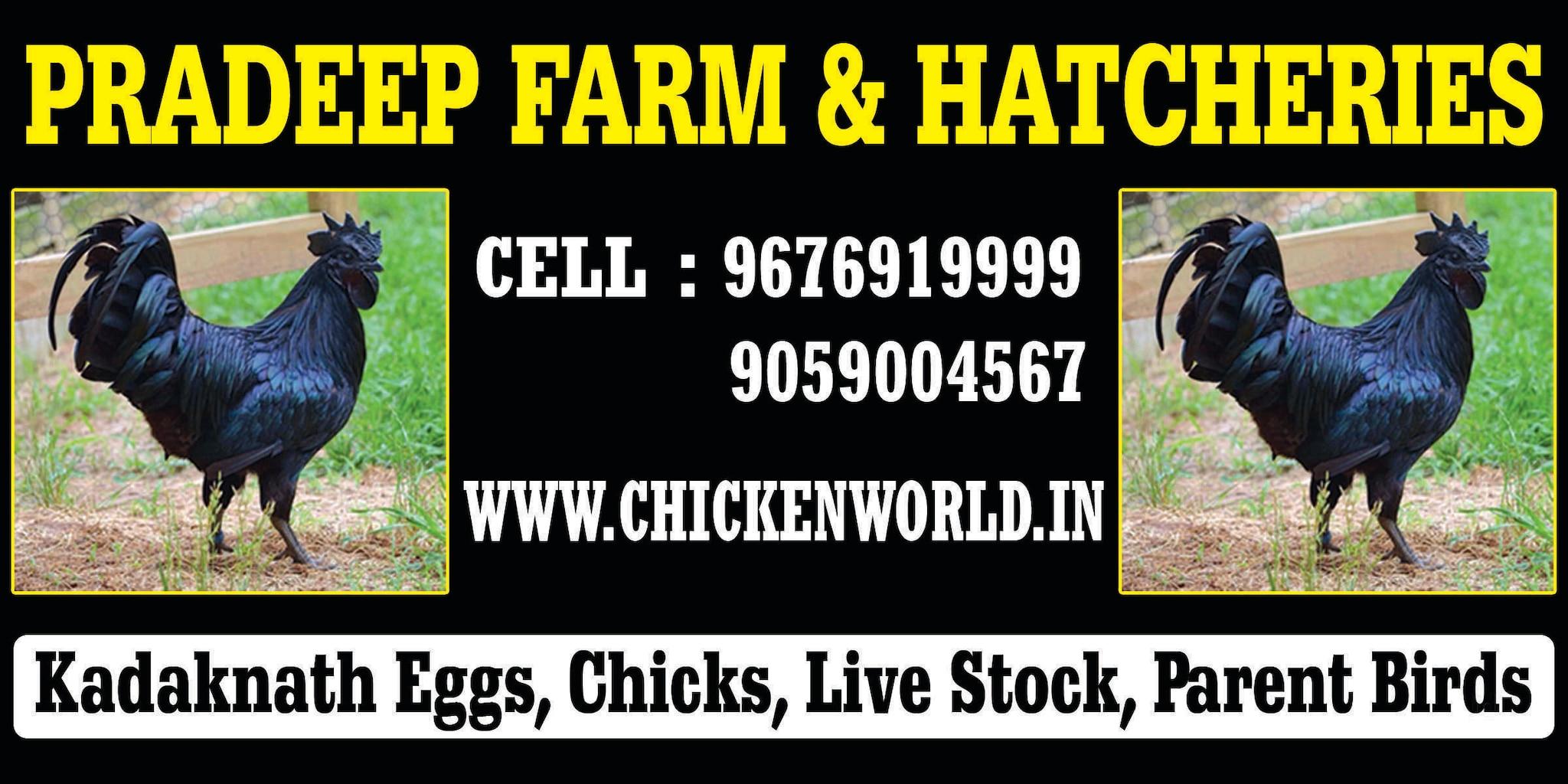 Top Kadaknath Chicken Suppliers in Vijayawada - Best Kadaknath
