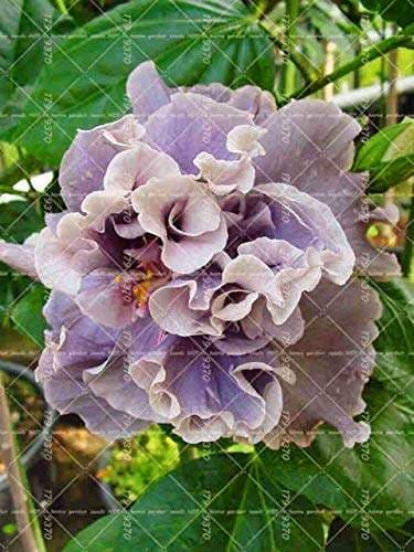 Buy 100pcs Rare Hibiscus Tree Double Hibiscus Flower Perennial Indoor Bonsai Plant For Home Garden Decoration 7 Features Price Reviews Online In India Justdial