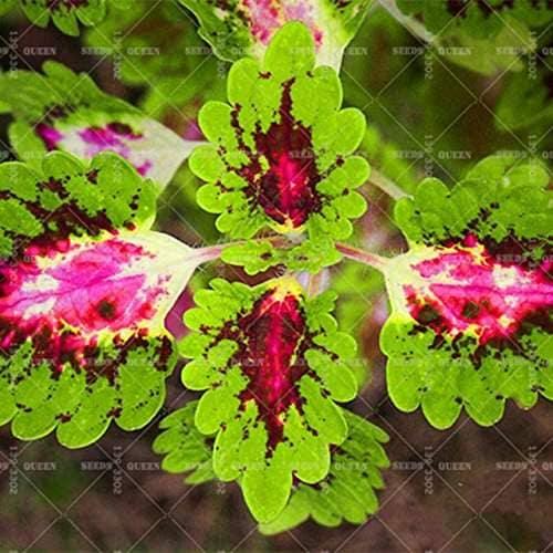Buy 100pcs Bag Coleus Bonsai Plants Rainbow Mix Color Flower Planting For Home Garden Indoor Bonsai Plants Color Lips 10 Features Price Reviews Online In India Justdial